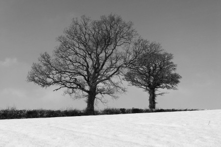 Two oaks on the lane, 24.1.13