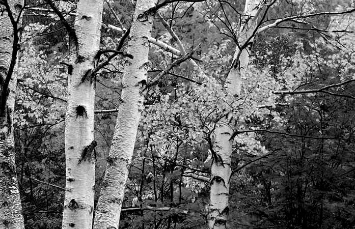 birch-trees-forest