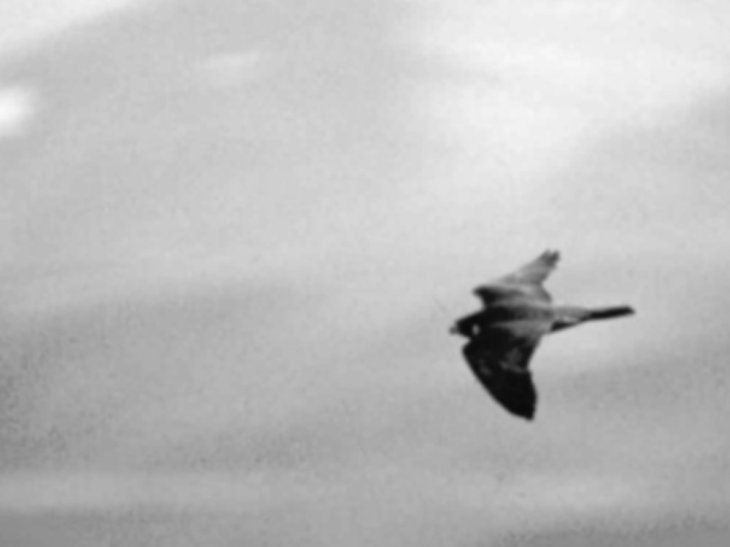 falcon-bw